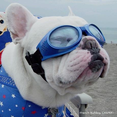 フレンチブルドッグ french bulldog casper