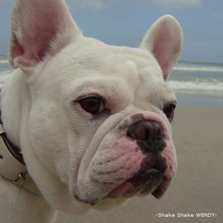 french bulldog<br /> casper
