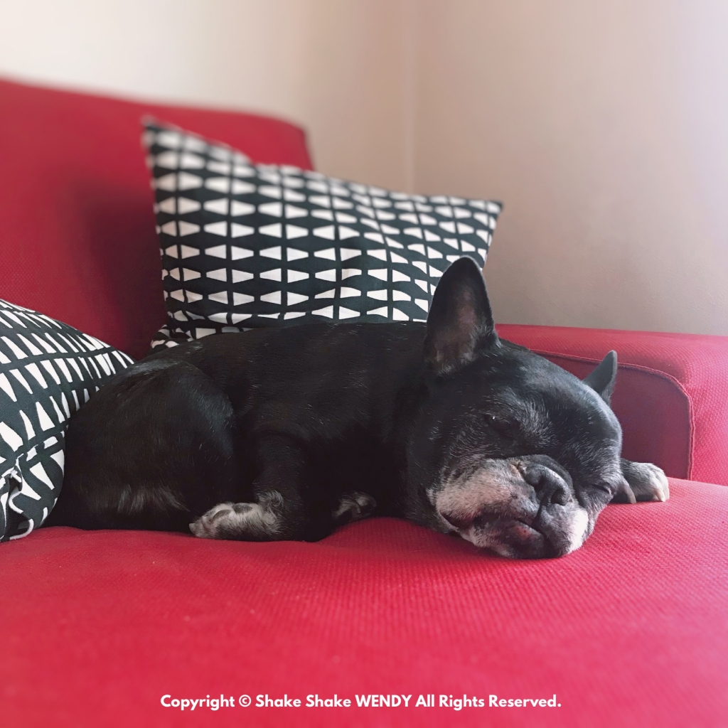 Senior Life Stage Of French Bulldog. Wendy is 14years old.