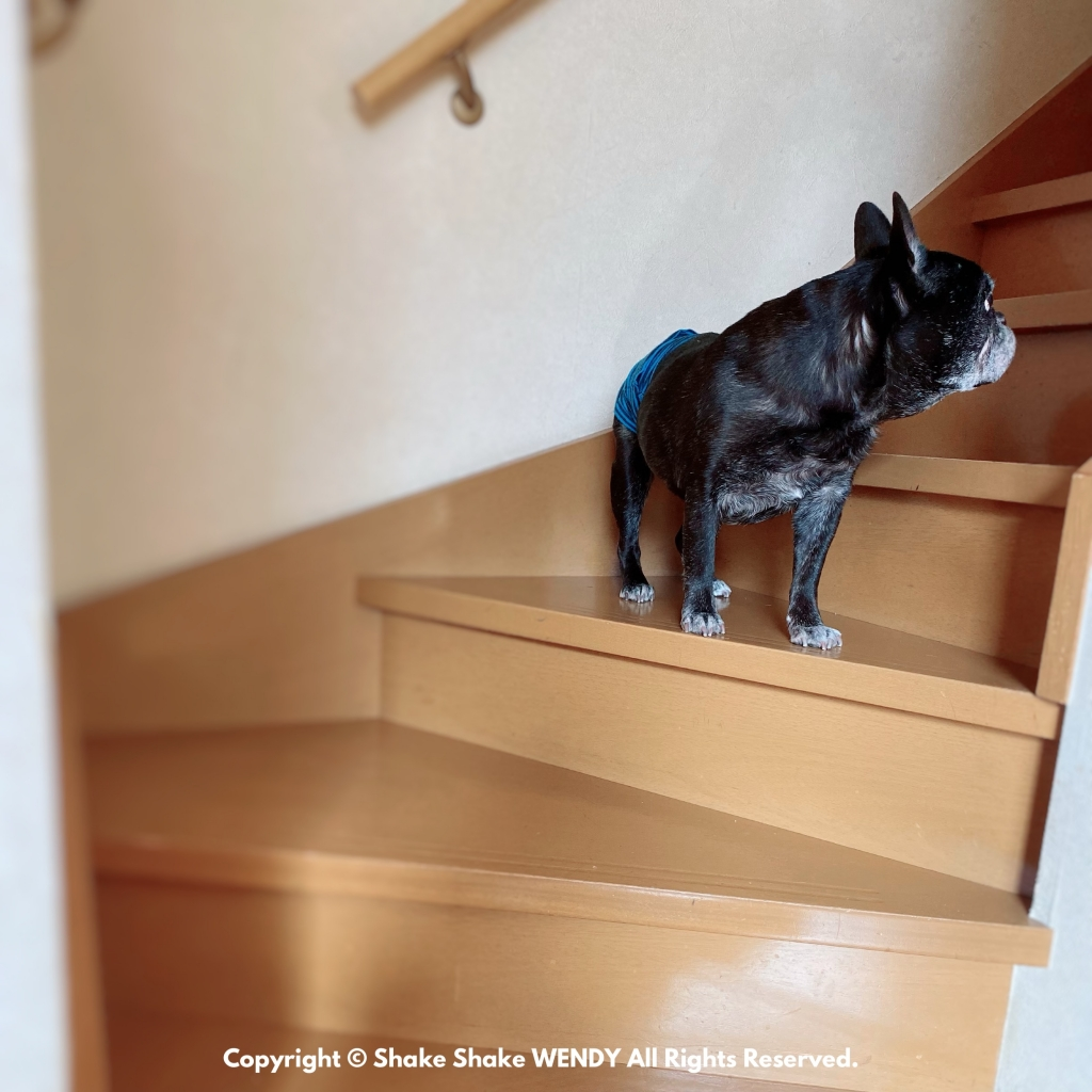 French Bulldog Wendy 14years old 10months