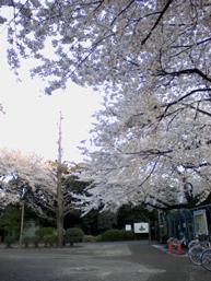 哲学堂。青梅街道沿いもすごい桜でした