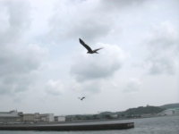 両翼を広げたら1メートル近くはありそう!かなりでかい!