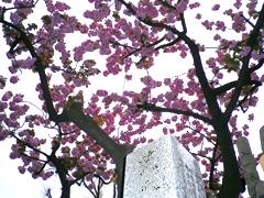 浄閑寺の桜