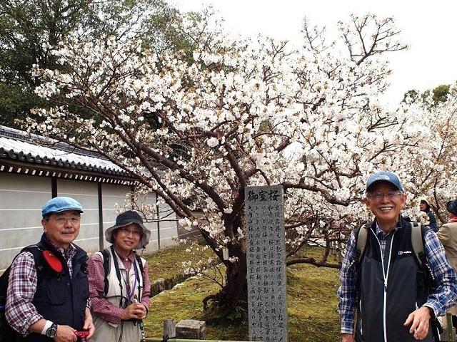 5仁和寺御室桜.JPG