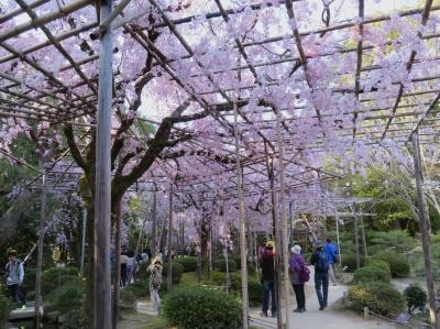 8:紅しだれ桜.JPG