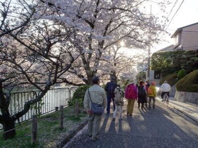 11:疎水沿の桜の道.jpg