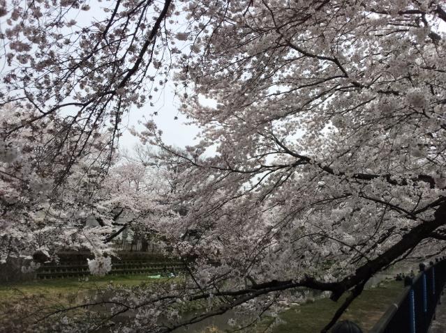 調布 野川の桜