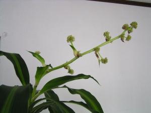 ドラセナの花_4