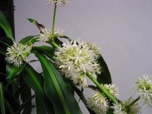ドラセナの花_10