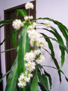 ドラセナの花_12