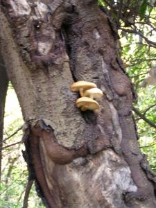 木に生えた白いキノコ