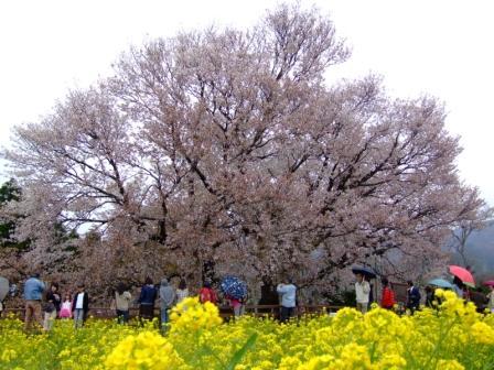 一心行の大桜web.JPG