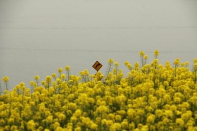 豊島の菜の花畑