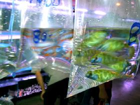 マーケットの熱帯魚アフリカンシクリッド