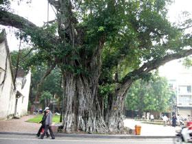 ゴムの木の一種