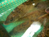 馬嶺魚(ニゴイの仲間)