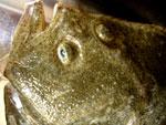 多宝魚(イシビラメ)、