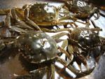 シナモズクガニ(上海蟹)