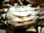上海蟹のメス