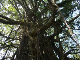 コロンス島のカジュマルの木