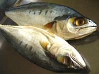 馬鮫魚(サワラ)