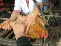 市場の鶏屋