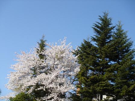 空と樹木と桜と