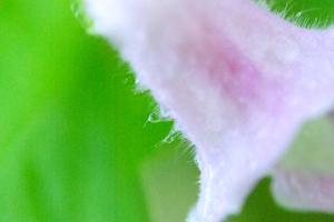 ごまの花ー5