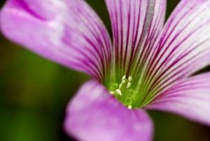 紫かたばみー1