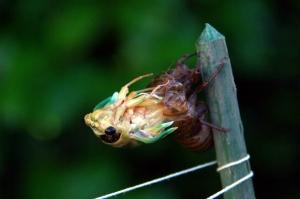 蝉の脱皮ー1