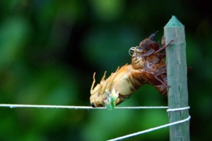蝉の脱皮ー2