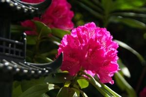 室生寺ー石楠花