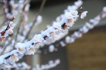 01今年の梅の花(これじゃ虫さんは来ないわな).JPG