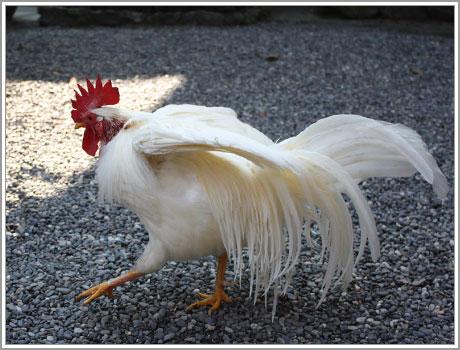 ポージング鶏さん