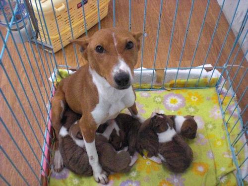 バセンジー 子犬 画像 出産情報 ブリーダー ペットショップ