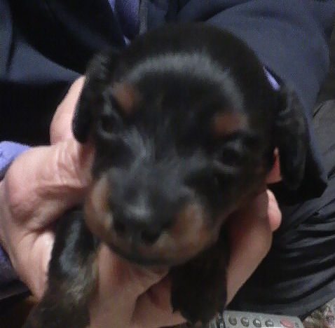 カニーンヘンダックスフンド ブリーダー 子犬 画像 販売