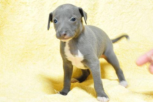 イタグレ ブリーダー 子犬販売 ペットショップ ブルー&ホワイト 横浜
