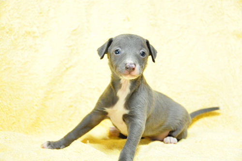 イタグレ ブリーダー 子犬販売 ペットショップ ブルー&ホワイト 日本全国