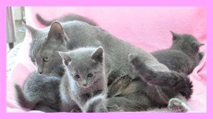 Angelwan 子猫 ロシアンブルー ブルー 神奈川