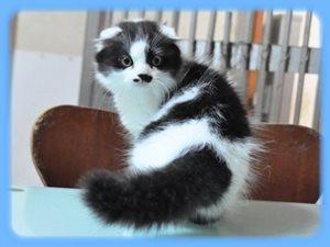 スコティッシュフォールド 子猫 ブラック&ホワイト オス 折れ耳 THE CAT