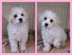 ビションフリーゼ,ホワイト,女の子,血統優秀,JKCチャンピオン,AngelWan,子犬販売専門店