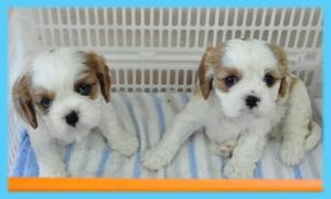キャバリア オス 子犬販売の専門店 AngelWan 横浜