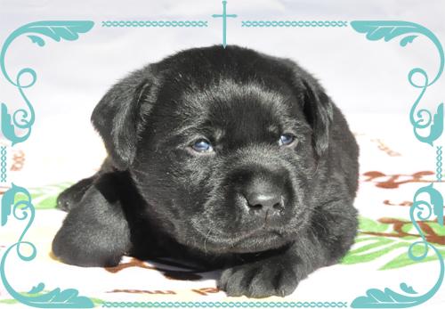 ラブラドールレトリバーの子犬 ブラック 良血統