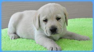 ラブラドールレトリバー 男の子 イエロー AngelWan 大型犬