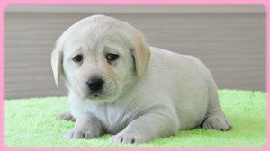 ラブラドールレトリバー 女の子 イエロー AngelWan 大型犬