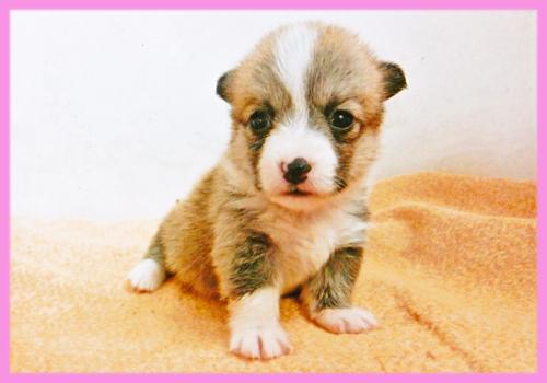 コーギー レッド&ホワイト メス 子犬販売の専門店 AngelWan 横浜