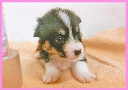 コーギー トライカラー メス 子犬販売の専門店 AngelWan 横浜
