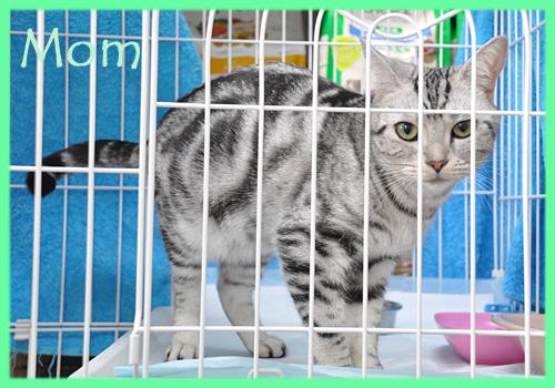 アメリカンショートヘア シルバータビー 子猫・子犬販売の専門店 AngelWan 横浜
