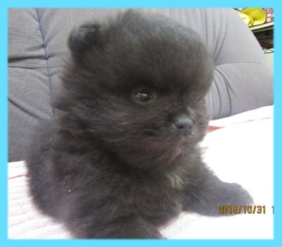 ポメラニアン ブラック オス 子犬販売の専門店 AngelWan 横浜