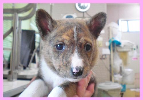 バセンジー ブリンドル&ホワイト メス 子犬販売の専門店 AngelWan 横浜
